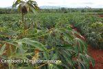 btb-cassava-plantation-04