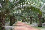 shv-palm-oil-farm-01
