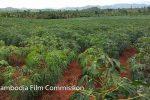 btb-cassava-plantation-03