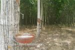 btb-rubber-plantations-04